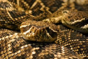 interesting_facts_about_rattlesnake8