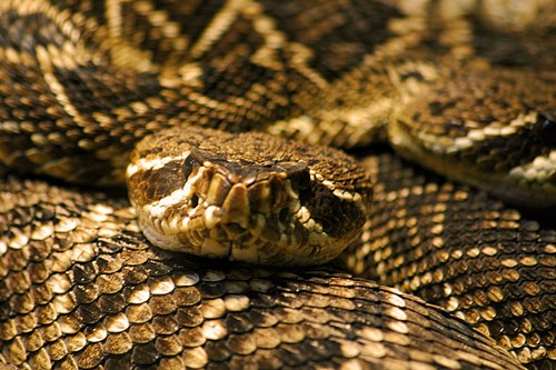 Interesting_Facts_About_Rattlesnake8-ap