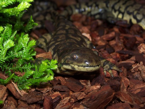 interesting_facts_about_salamander3