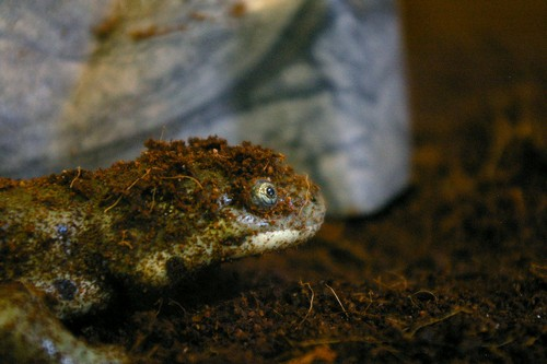 interesting_facts_about_salamander4