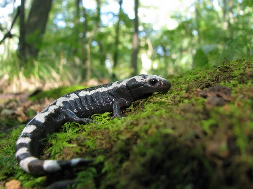 interesting_facts_about_salamander5