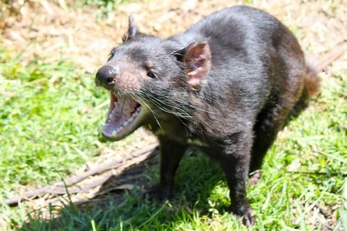 What is a Tasmanian devil's diet like?
