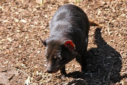 interesting_facts_about_tasmaniandevil2