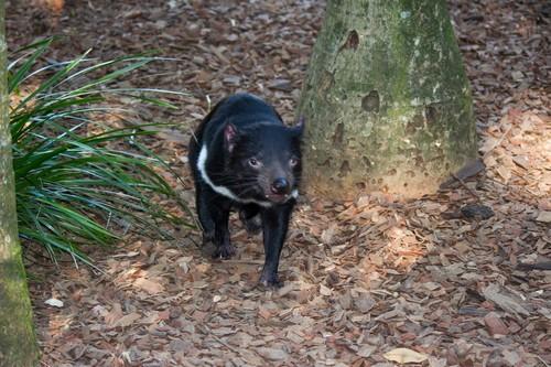 interesting_facts_about_tasmaniandevil4