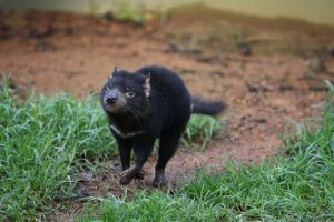 interesting_facts_about_tasmaniandevil8
