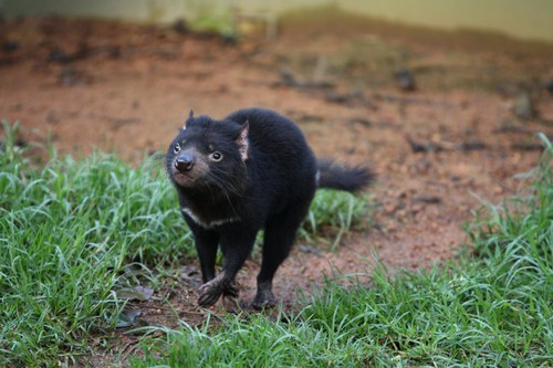 Tasmanian devil – habitat, size, species and diet with pictures