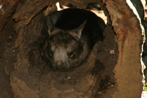 interesting_facts_about_wombat1