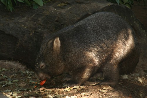 interesting_facts_about_wombat2