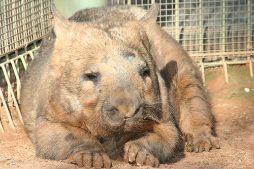 interesting_facts_about_wombat4