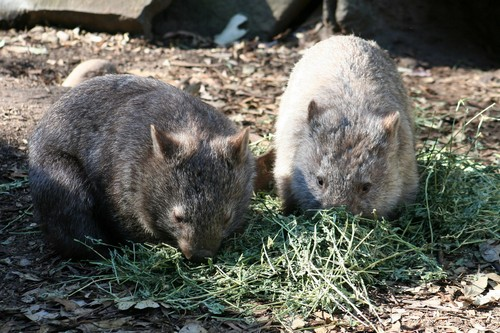 interesting_facts_about_wombat5