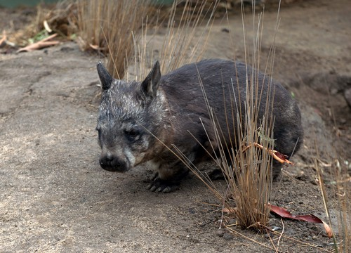 interesting_facts_about_wombat6