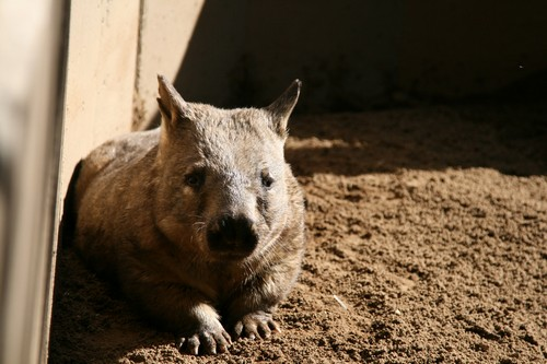 interesting_facts_about_wombat7