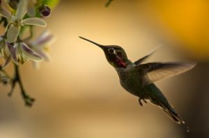 interesting_facts_about_hummingbird8
