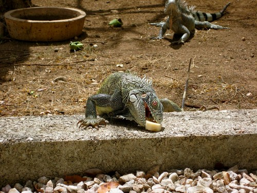 interesting_facts_about_iguana1