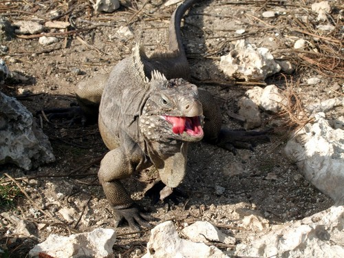 interesting_facts_about_iguana2