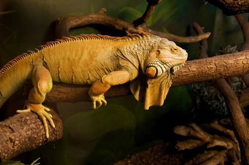interesting_facts_about_iguana4