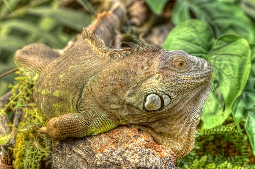 interesting_facts_about_iguana5