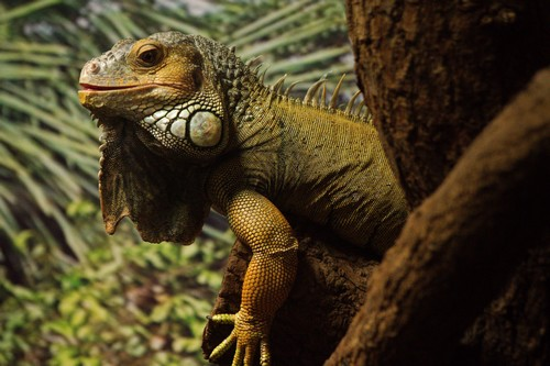 interesting_facts_about_iguana7