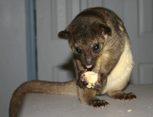 interesting_facts_about_kinkajou1