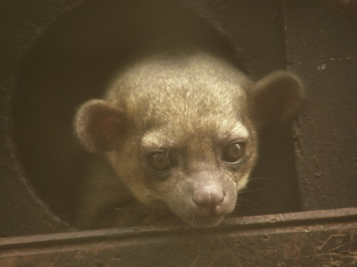 interesting_facts_about_kinkajou2