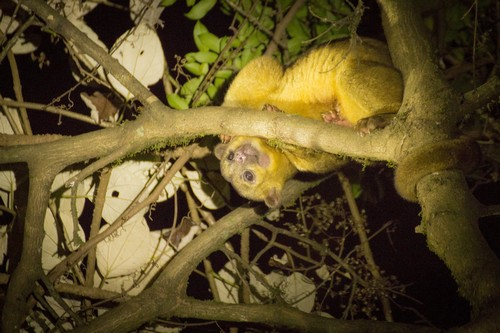 interesting_facts_about_kinkajou3