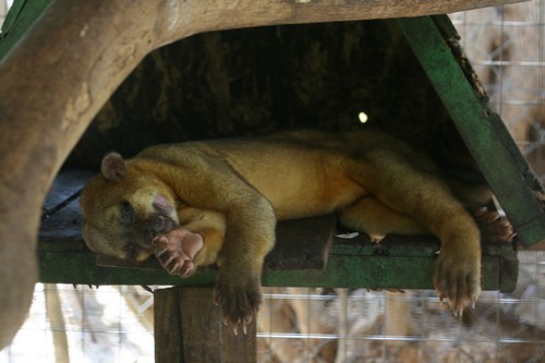 interesting_facts_about_kinkajou6