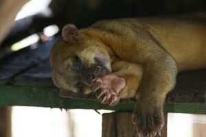 interesting_facts_about_kinkajou8
