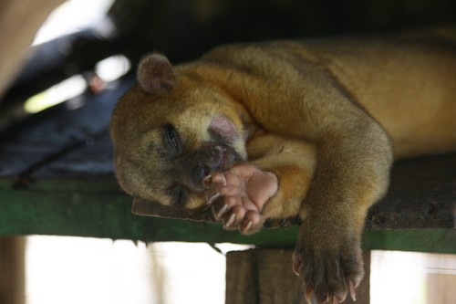 interesting_facts_about_kinkajou8-ap