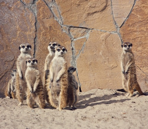 interesting_facts_about_meerkat1
