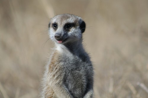 interesting_facts_about_meerkat2
