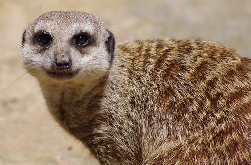 interesting_facts_about_meerkat5