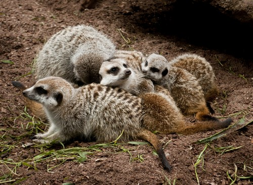 interesting_facts_about_meerkat6