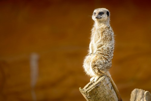 interesting_facts_about_meerkat7