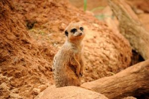 interesting_facts_about_meerkat8