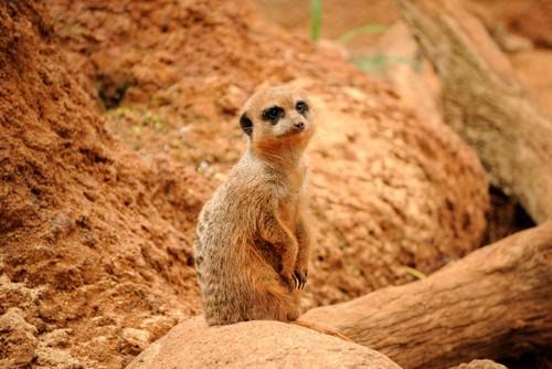 interesting_facts_about_meerkat8-ap