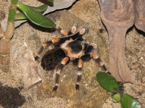 interesting_facts_about_tarantula1