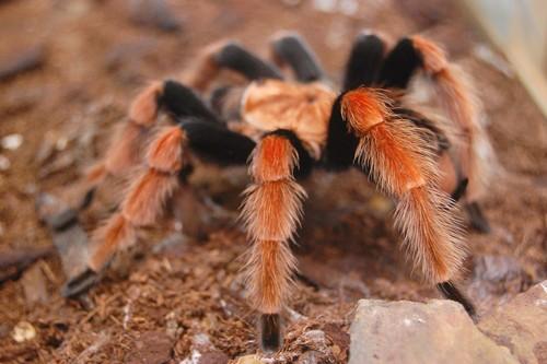 interesting_facts_about_tarantula2