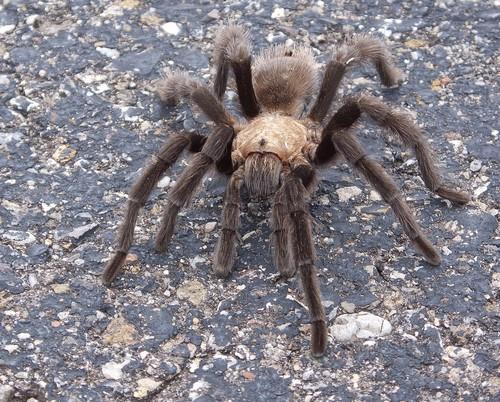 interesting_facts_about_tarantula3