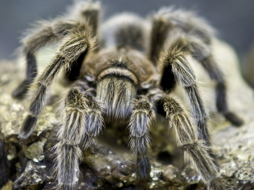 interesting_facts_about_tarantula4
