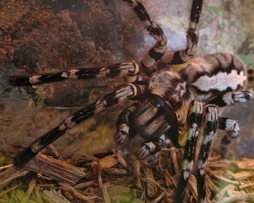 interesting_facts_about_tarantula7