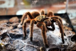 interesting_facts_about_tarantula8