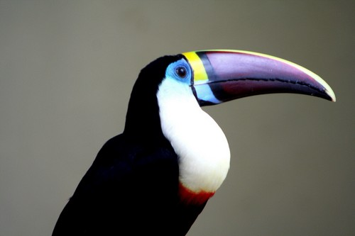 interesting_facts_about_toucan1