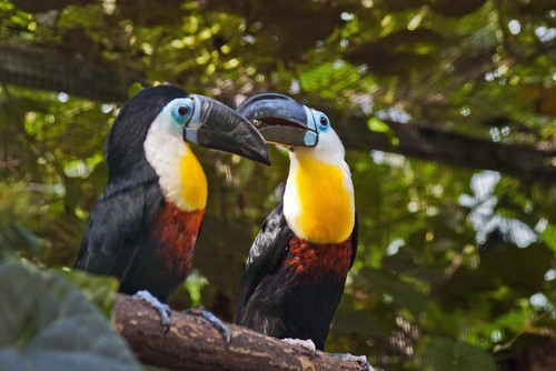interesting_facts_about_toucan5