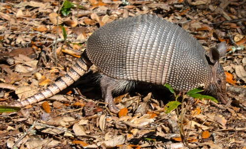 interesting_facts_about_armadillos4