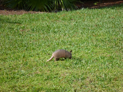 interesting_facts_about_armadillos5