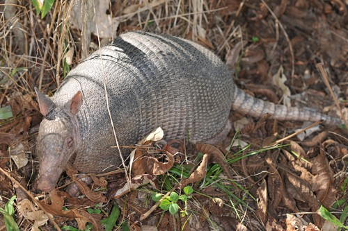 The Mighty Armor of Armadillo