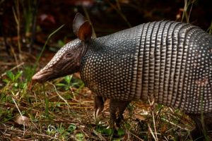 interesting_facts_about_armadillos8