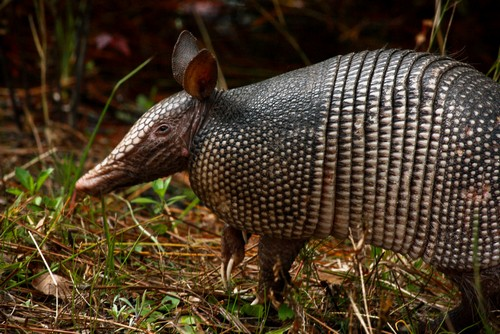 Interesting_Facts_About_Armadillos8-ap