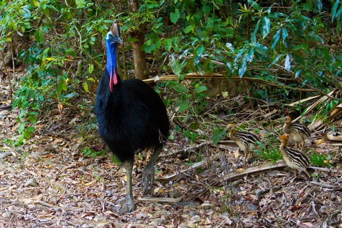 interesting_facts_about_cassowary7
