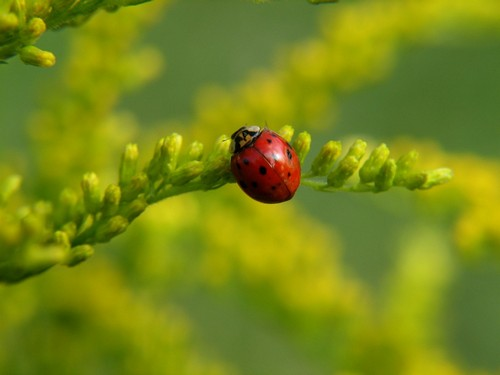 interesting_facts_about_ladybug1